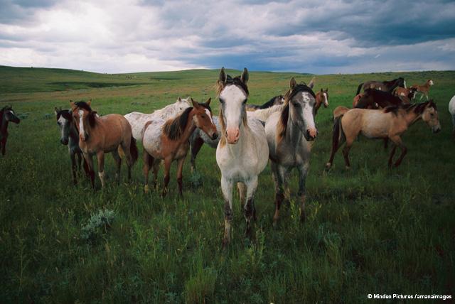 草原を駆ける野生の馬、マスタング イヴァ・モマテューク ミンデン・ピクチャーズ