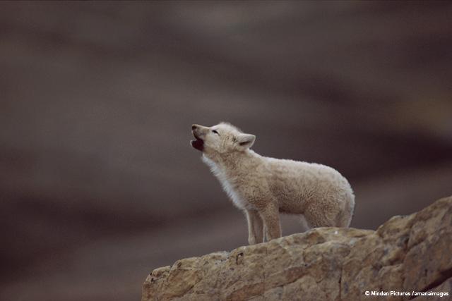 オオカミと過ごした日々 ジム・ブランデンバーグ ミンデン・ピクチャーズ