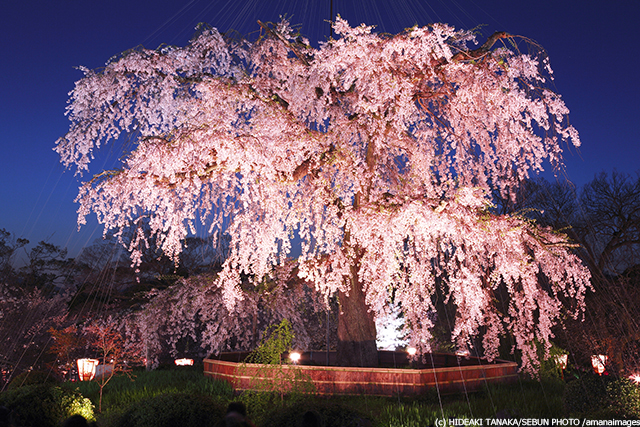 丸山公園 祇園の夜桜
