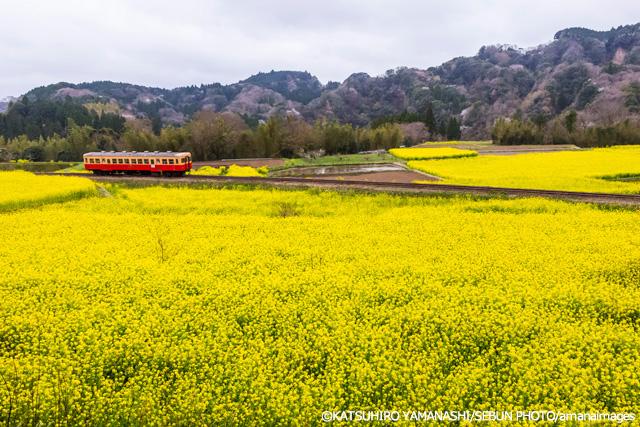 小湊鐵道(こみなとてつどう) の菜の花畑