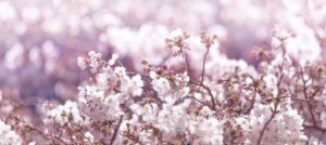 今どこ撮る? 今年の桜はここ!